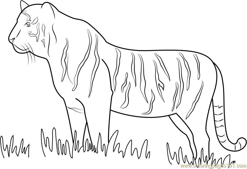 Tiger Walking in Grass Coloring Page