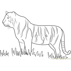 Tiger Walking in Grass Free Coloring Page for Kids