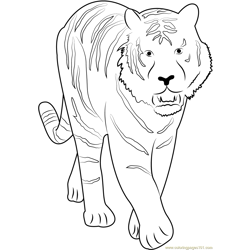 Tiger Walking towards Free Coloring Page for Kids