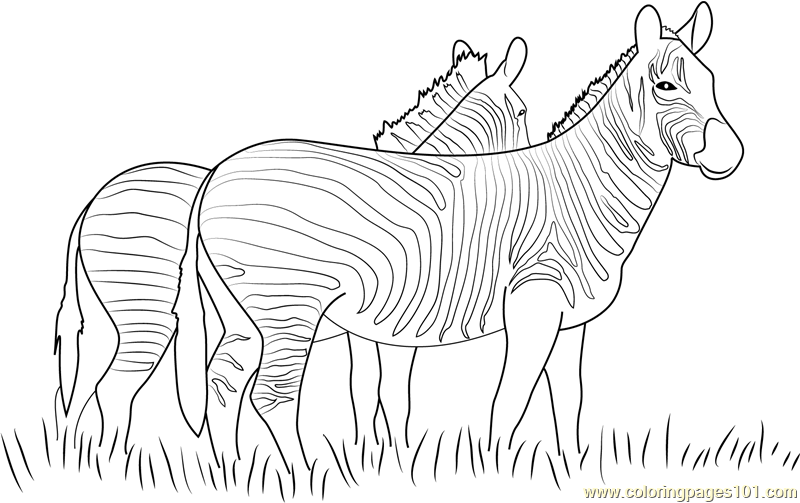 Two Zebras Walking Together Coloring Page Free Zebra
