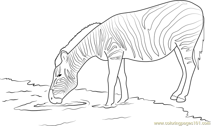 Zebra Drinking Water Coloring Page