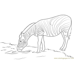 Zebra Drinking Water Free Coloring Page for Kids