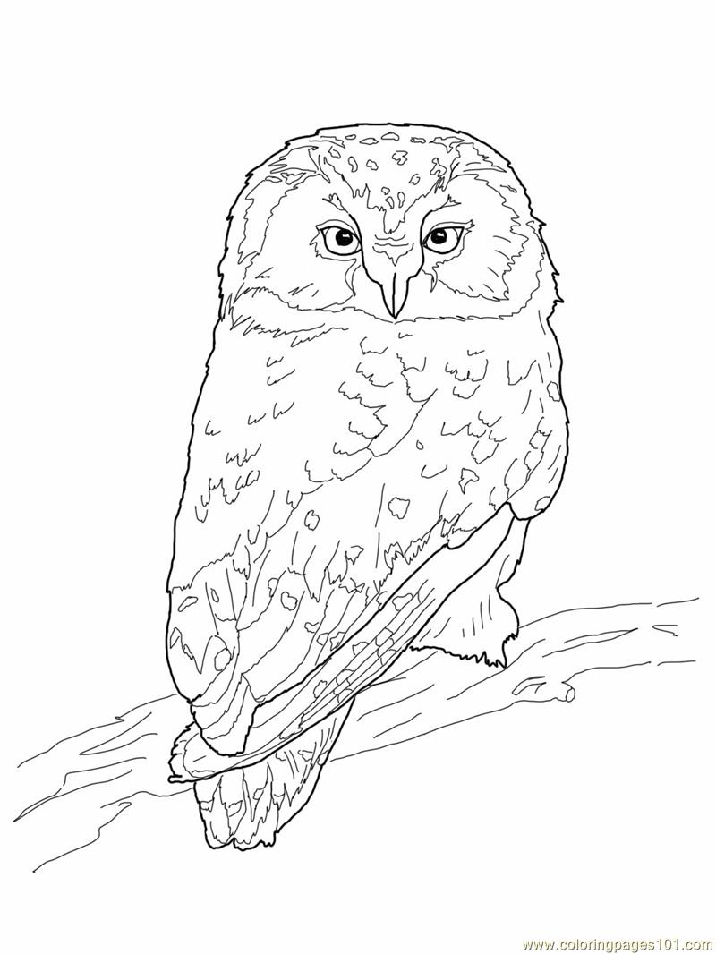 Boreal Owl Coloring Page