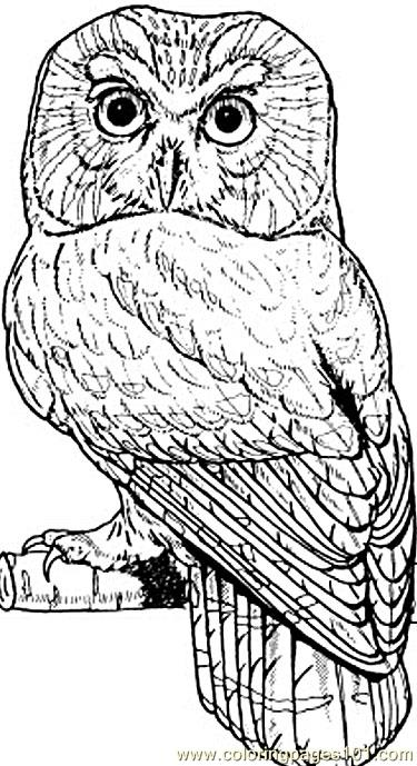 Northern het owl Coloring Page