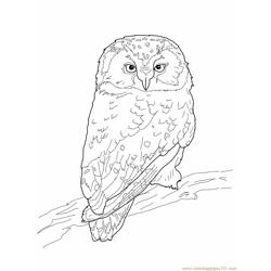 Boreal Owl Free Coloring Page for Kids