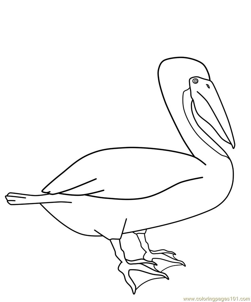 Eastern Brown Pelican Coloring Page Free Pelican