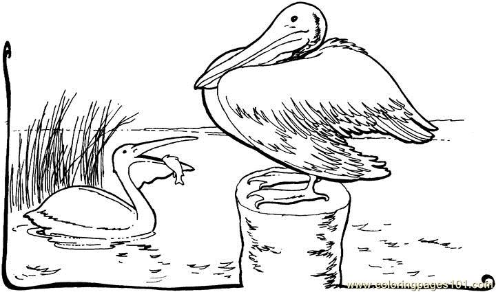 pelican animal coloring pages. Pelican Coloring Page  Free Pages