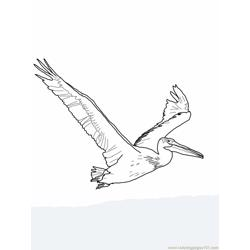 American white Pelican Free Coloring Page for Kids