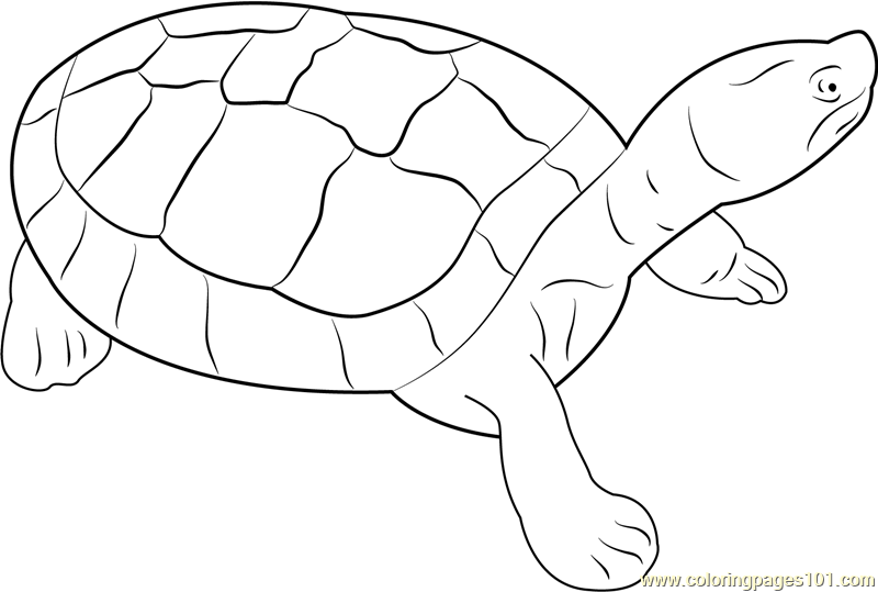 Burmese Roofed Turtle Coloring Page
