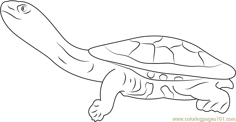 Eastern Long Neck Turtle Coloring Page Free Turtle