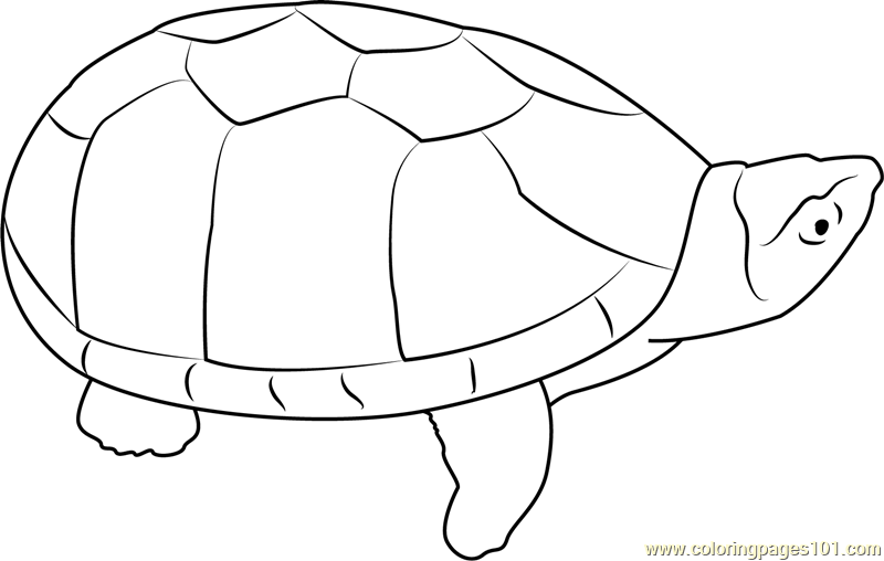 Musk Turtle Coloring Page