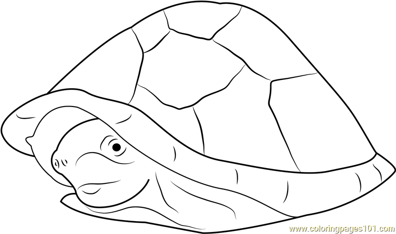 Razor Backed Musk Turtle Coloring Page