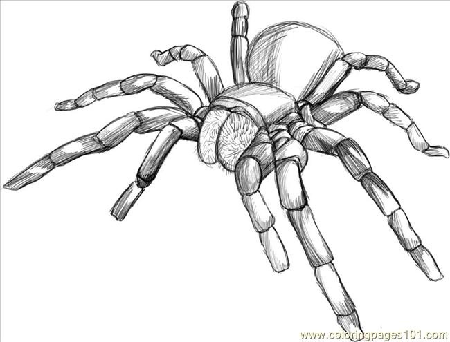 Raw A Tarantula Spider Step 5 Coloring Page