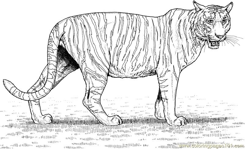 Tiger new 53 Coloring Page