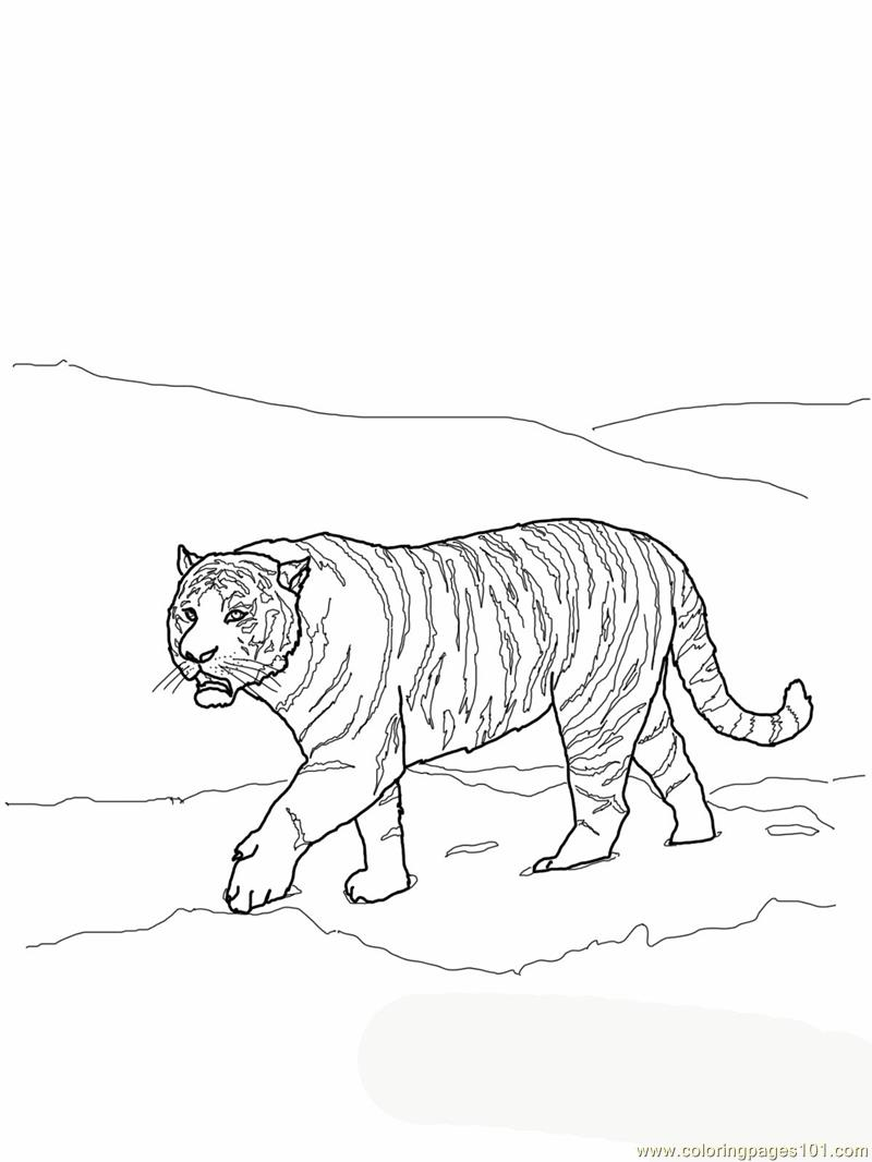 Siberian Or Amur Tiger Coloring Page Free Tiger Coloring