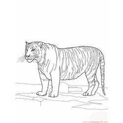White bengal tiger Free Coloring Page for Kids
