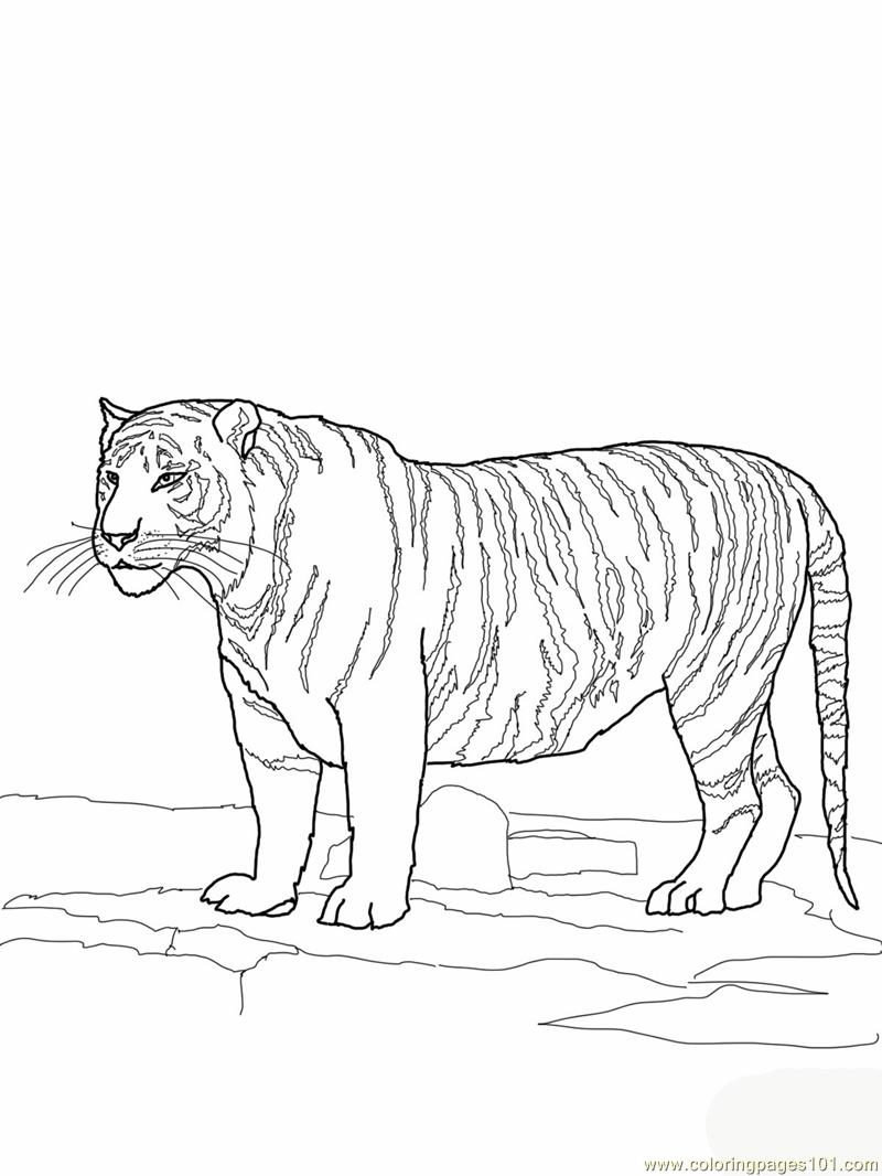 White bengal tiger Coloring Page