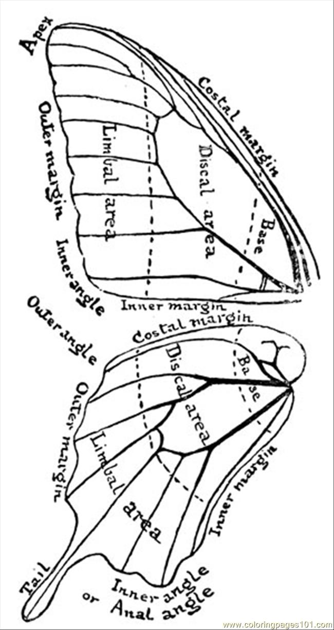 Moth Wing Anatomy
