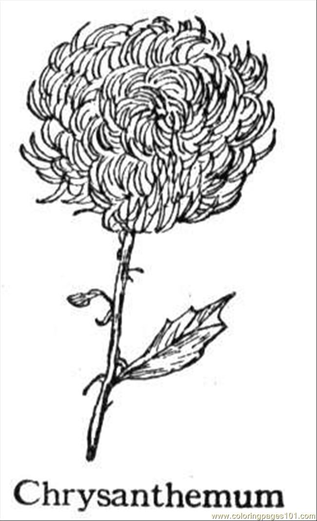 Coloring Pages Chrysanthemum 5
