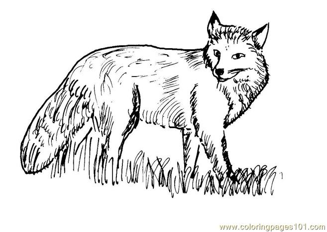Coloring Pages Fox Mammals gt Fox