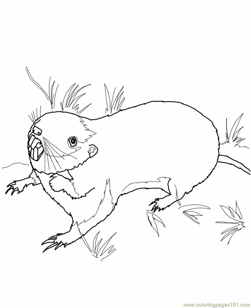 Coloring Pages Pocket gopher Mammals