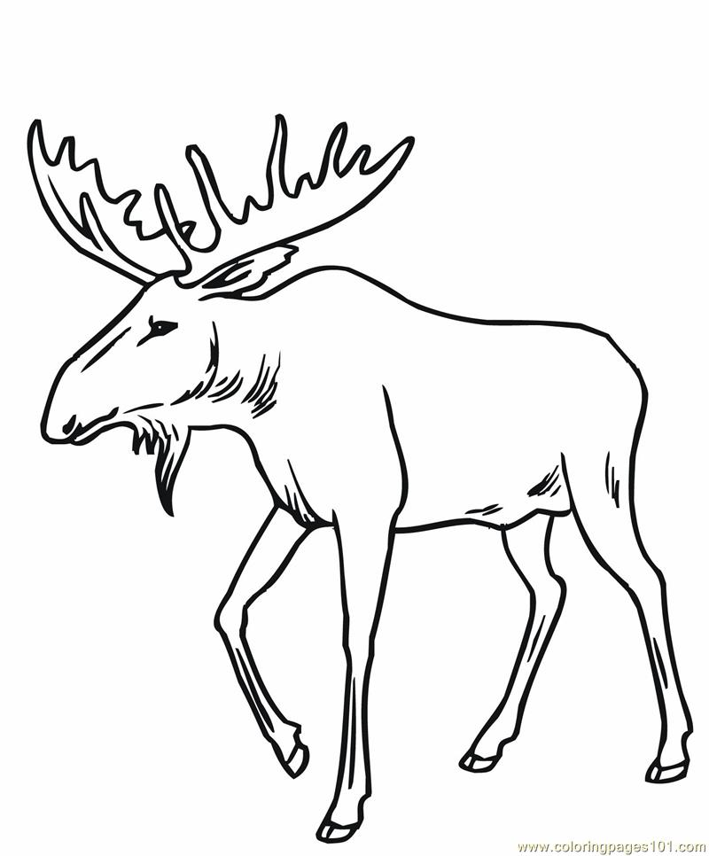 Coloring Pages Bull moose Mammals gt Moose free