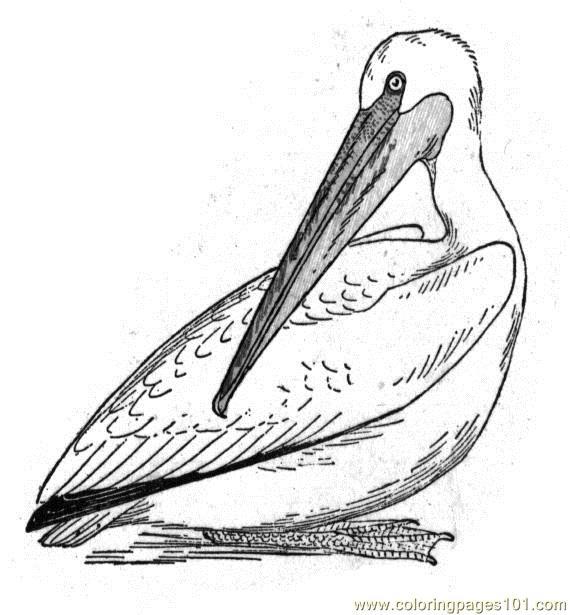 Coloring Pages Pelican Birds gt