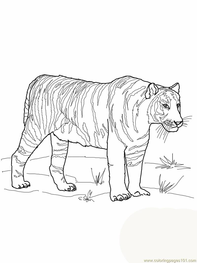 Coloring Pages Bengal tiger Mammals