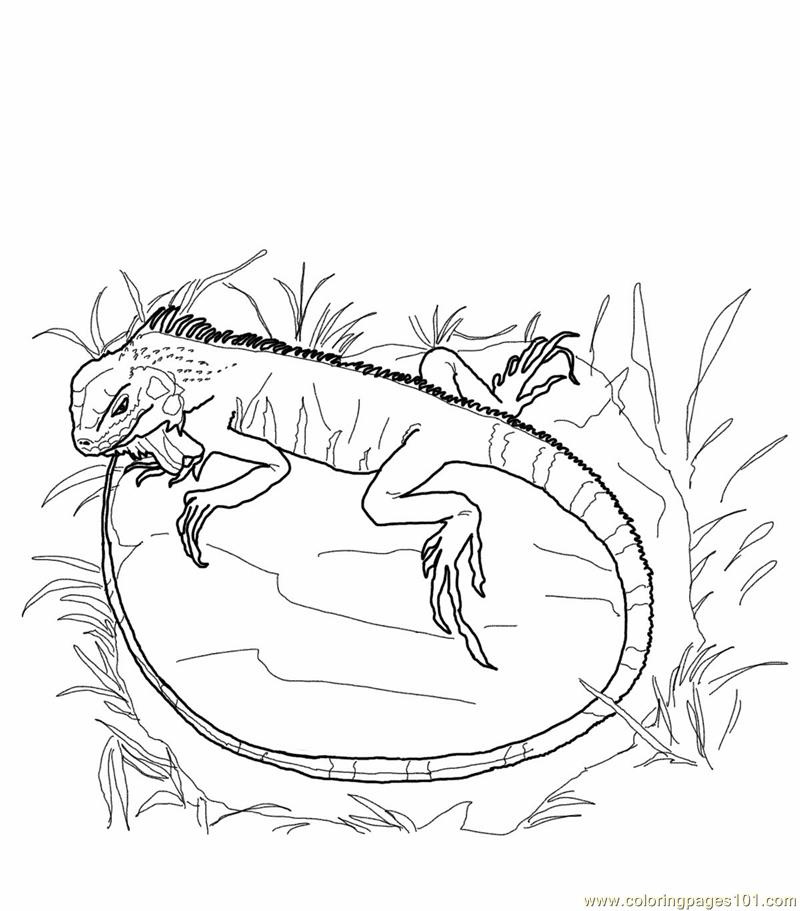Coloring Pages Green iguana lizards